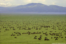 the wildebeast gather in the hundred of thousands