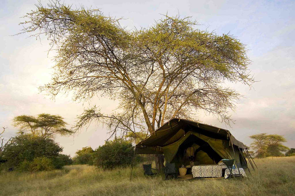 A tent under an Acacia tree