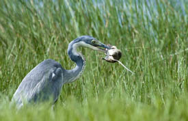 A heron eats a rodent in Arusha National Park