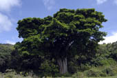 Giant Baobab trees in Arusha National Park