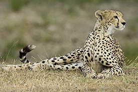 large cats such as cheetahs can be seen in the serengeti