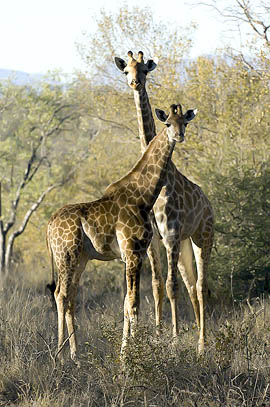 cuirous giraffes in Selous Game Reserve