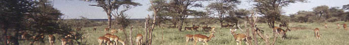 Impalas in the serengeti National Park Tanzania