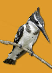 a pied king fisher