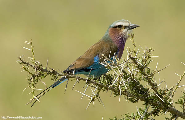 a lilac breasted roller on an acacia tree