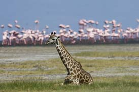 A giraffe sits in front of thousand of flamingos in Lake Manyare
