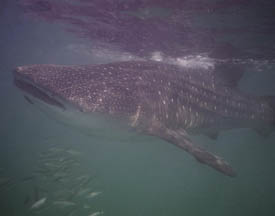A whale Shark near Mafia Island you can snorkle with them there
