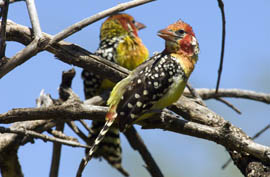 The Red and Yellow Barbet in Lake Manyara