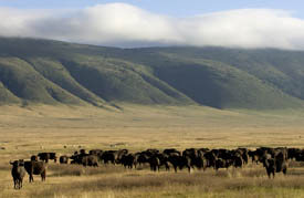 Wild buffaloes in the early morning mist of the Ngorongoro Crater