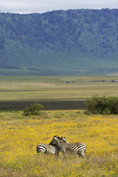 Two zebras in the Ngorongoro crater