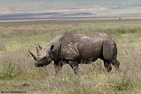 A black rhino an endangered species