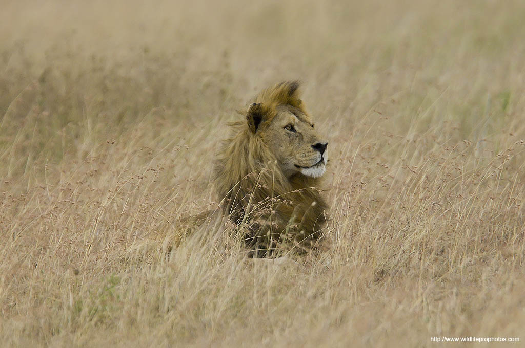 A lion sleeps in the grass in the Serengeti National Park.
