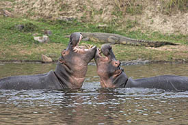 male hippos fighting in Ruaha