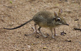 An elephant shrew