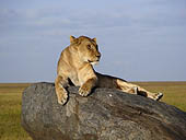 A lioness takes in the sunset in the Serengeti