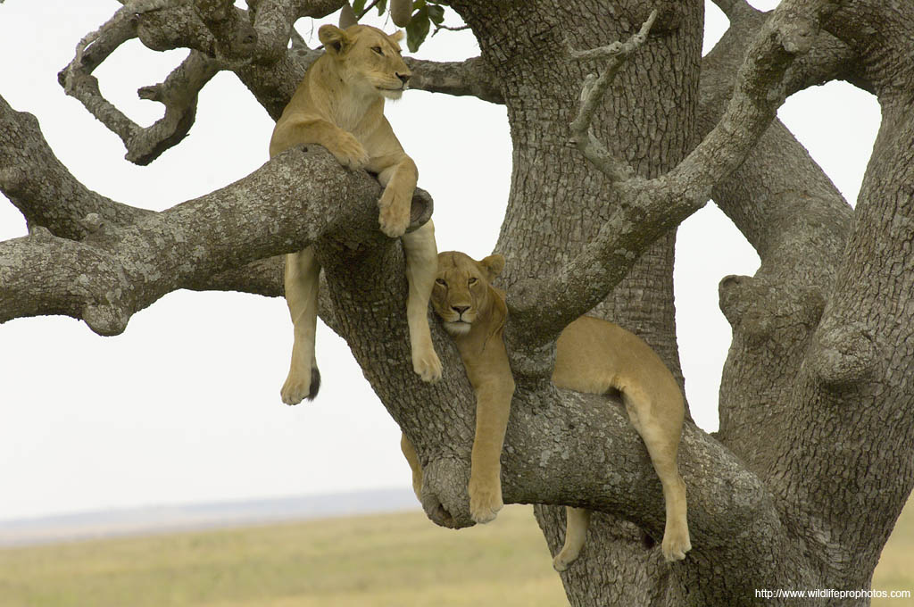 lions in a tree in the Serengeti