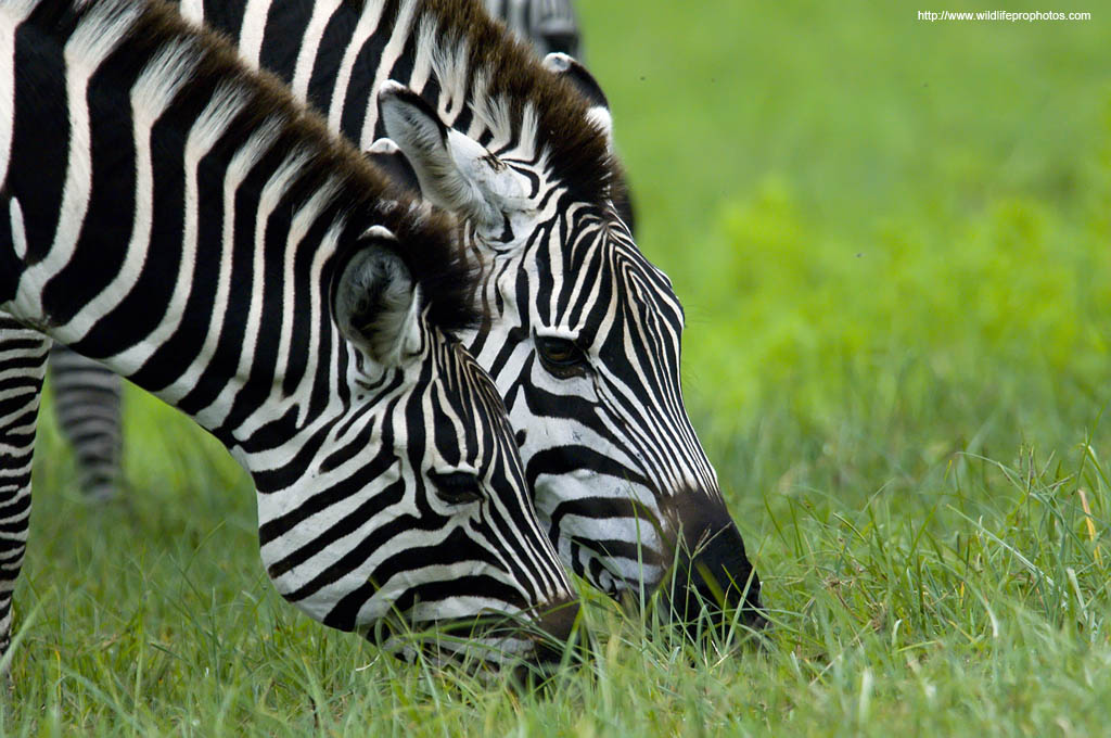 grazing zebras in the Serengeti