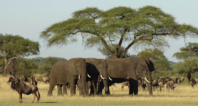 elephants and wildebeast in the serengeti