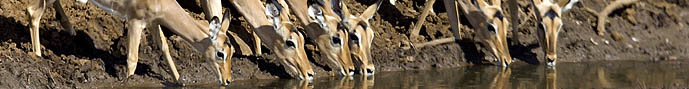 many impalas drinking