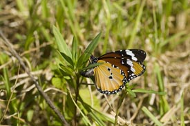 a butterfly lays its eggs