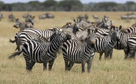the zebras gather with the wildebeast